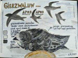 nature journal Gierzwaluw schets