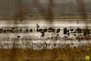 Grutto's en andere watervogels