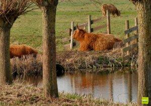 Schotse Hooglanders in de polder